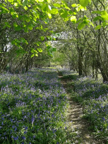 Bluebells phpto